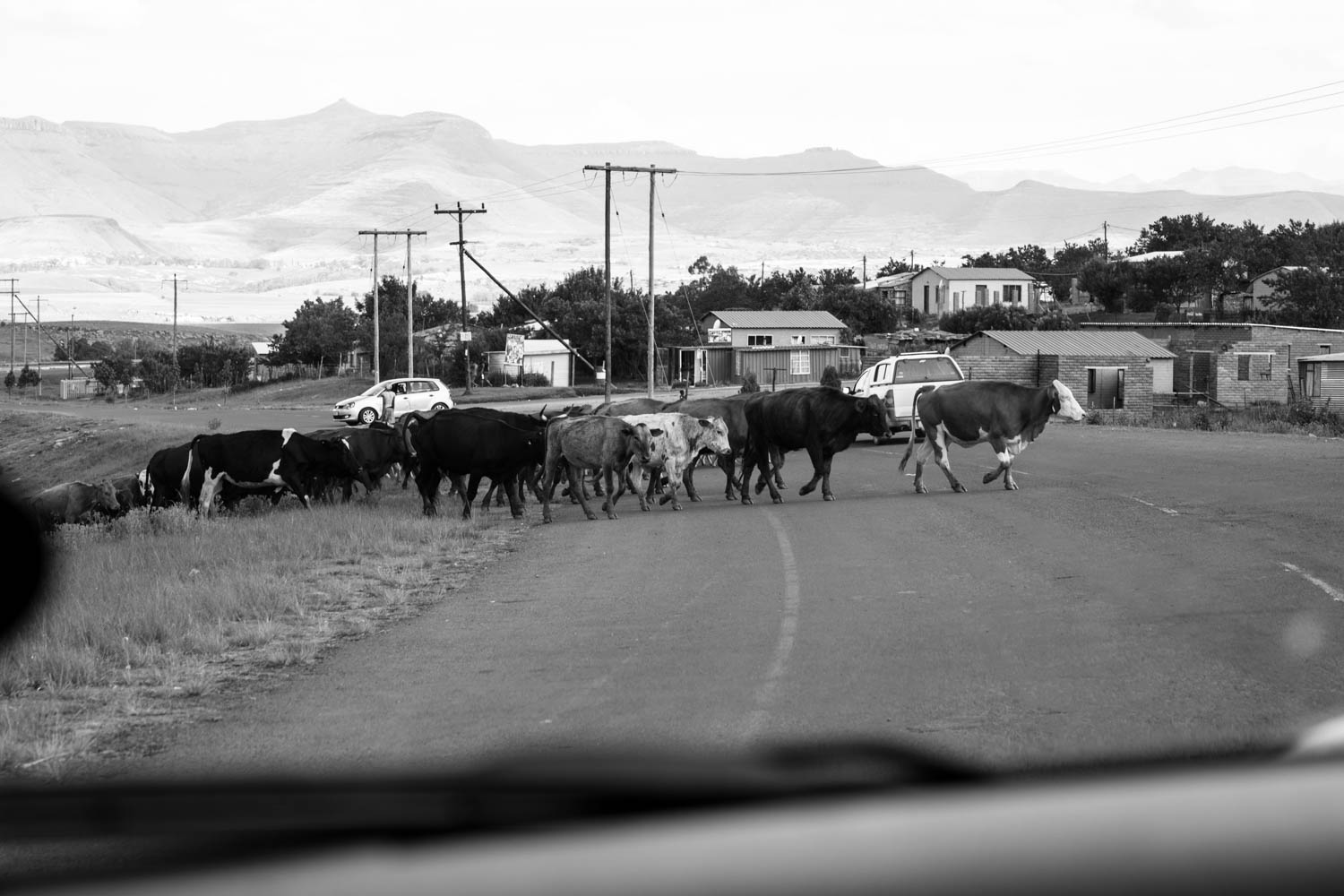 Cows Cross Road In Front Of Wedding Sportscar