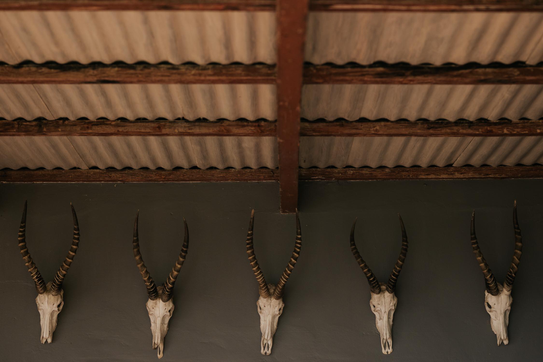 Buck head skulls on grey wall.
