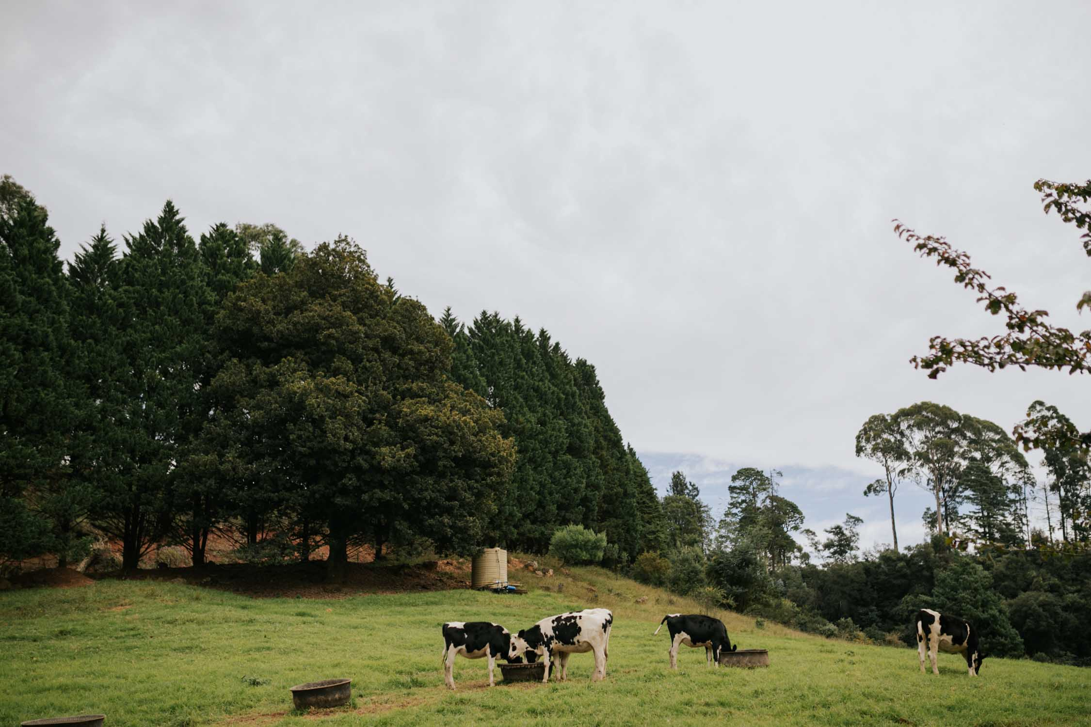Cows grazing in Natal Midlands