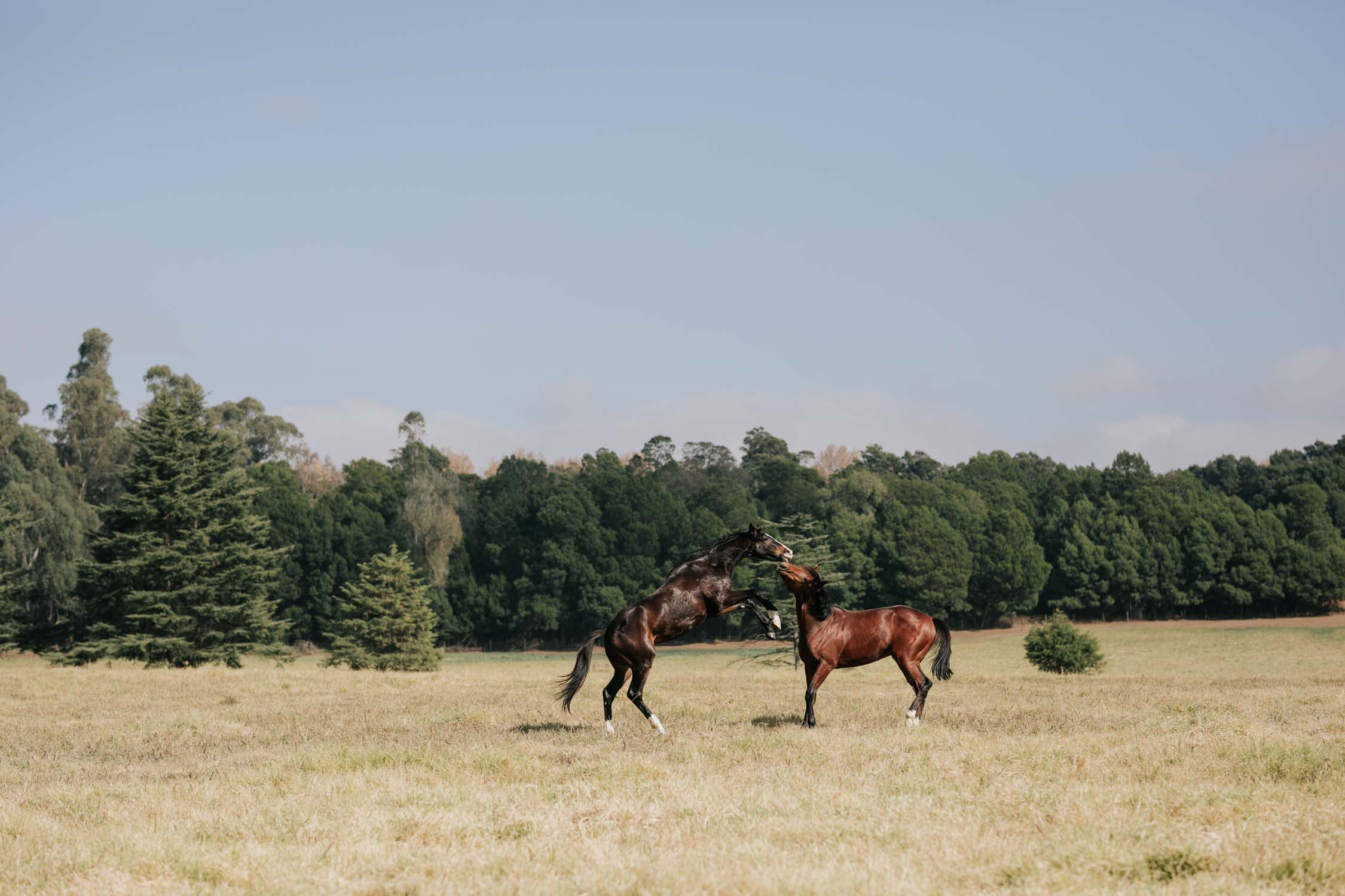 Two brown horses playing or fighting in a field with trees behind them and a blue sky above them.