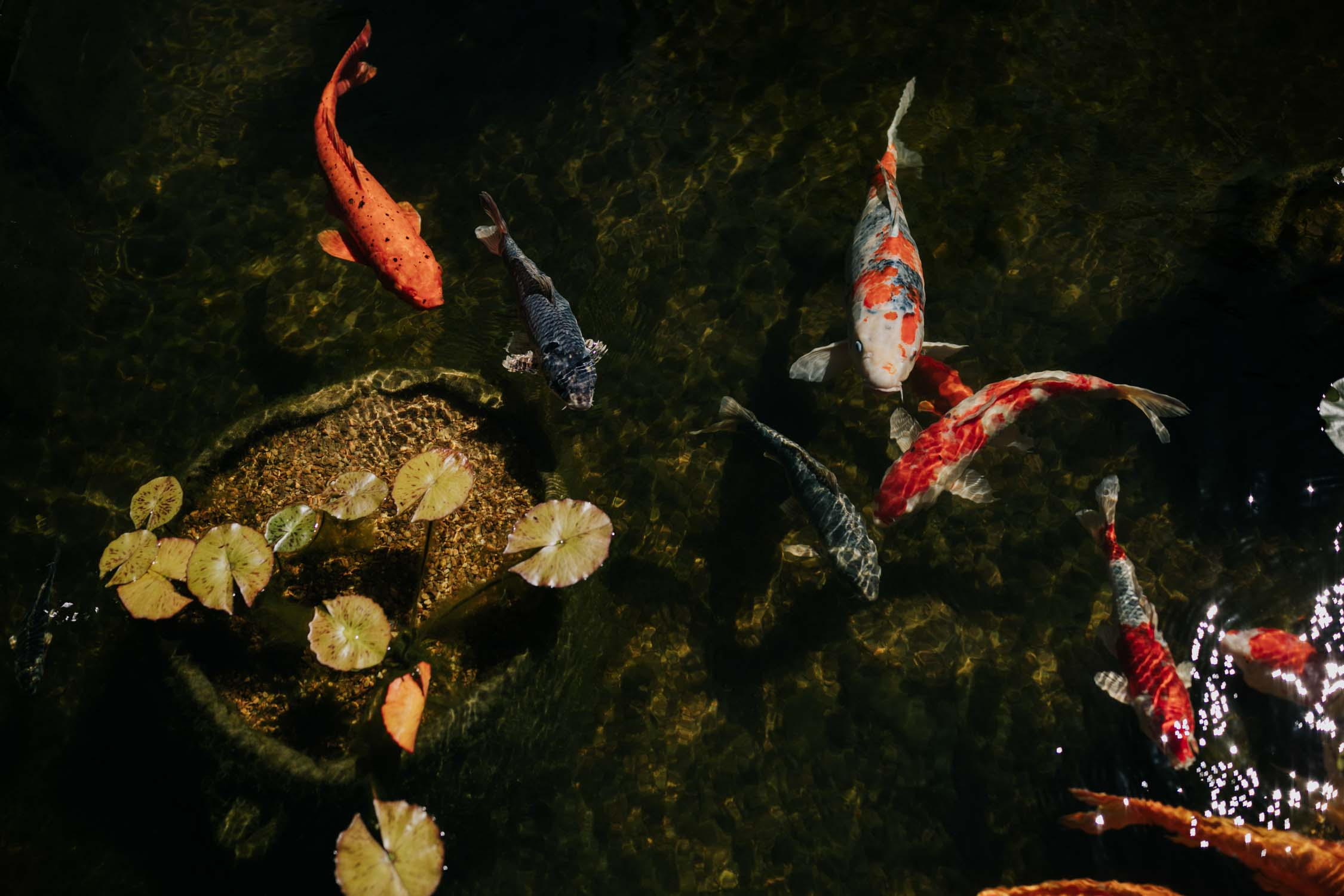 Koi Pond at Maison Noir