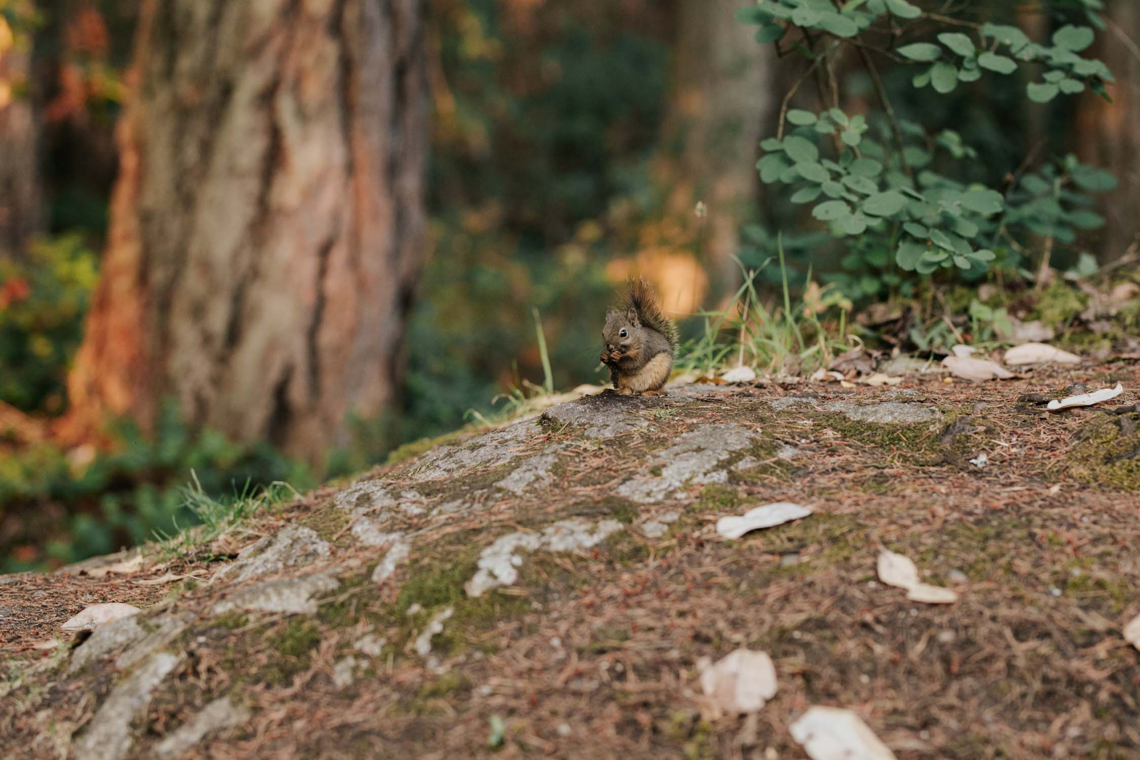 Small brown squirrel sitting on a rock in forest at Lighthouse Park, West Vancouver