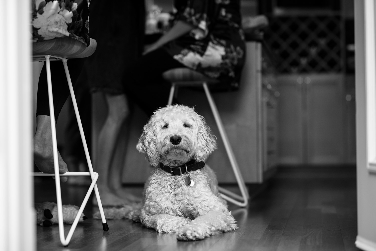 Cute gorgeous young white labradoodle sitting at the feet of the bridesmaids while they get their makeup done